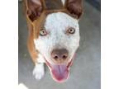 Adopt Maliachi a Pit Bull Terrier, Mixed Breed