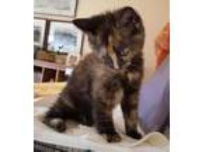 Adopt Bauble a All Black Domestic Mediumhair / Domestic Shorthair / Mixed cat in