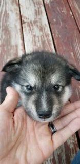 Alaskan Malamute PUPPY FOR SALE ADN-73497 - AKC registered Alaskan Malamute puppies