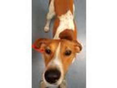 Adopt Hyde a Coonhound / Mixed dog in Pittsburgh, PA (25651237)