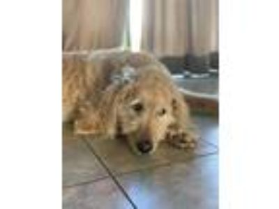 Adopt Josie a Golden Retriever, Poodle