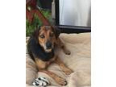 Adopt Amira a Beagle, Shepherd