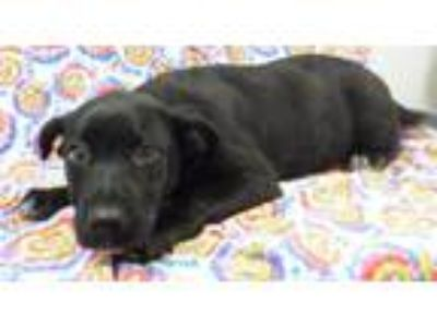 Adopt Ira a Black - with White Labrador Retriever / Mixed Breed (Large) / Mixed