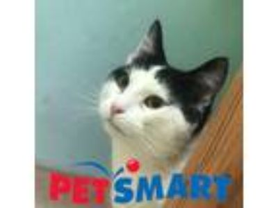 Adopt Bernie a White Domestic Shorthair / Domestic Shorthair / Mixed cat in