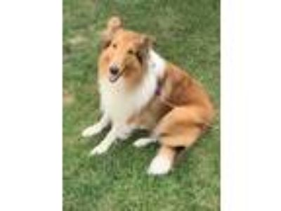 Adopt Gunnar a Tan/Yellow/Fawn - with White Collie / Mixed dog in Pittsburgh