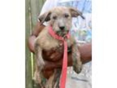 Adopt Jazzy - Local July 27 28 a Terrier, Wirehaired Terrier