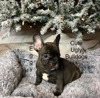French Bulldog PUPPY FOR SALE ADN-105052 - Eggy  French Bulldog