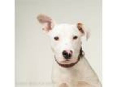 Adopt Wesley a Pit Bull Terrier, Cattle Dog