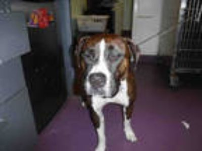 Adopt a Brindle - with White American Pit Bull Terrier / Mixed dog in Long