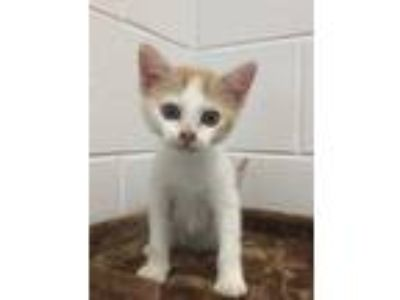 Adopt a White (Mostly) American Shorthair / Mixed (short coat) cat in Grovetown