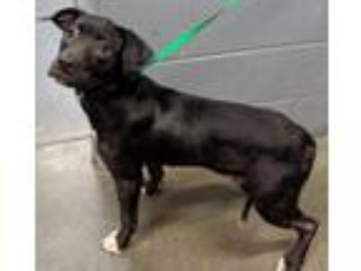 Adopt Lady**NOT AVAILABLE UNTIL 6/18 a Labrador Retriever, Pit Bull Terrier