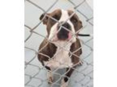 Adopt Sally a Brindle - with White Mixed Breed (Medium) / Boxer / Mixed dog in