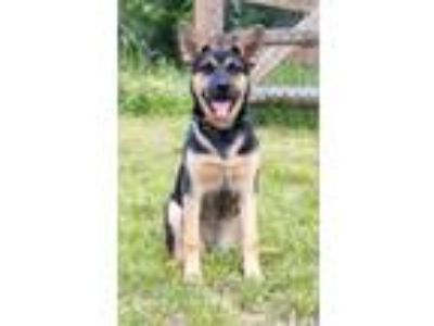 Adopt China a Black - with Tan, Yellow or Fawn Miniature Pinscher / Mixed dog in