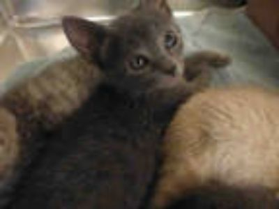 Adopt RIGATONI a Gray or Blue Domestic Shorthair / Mixed (short coat) cat in