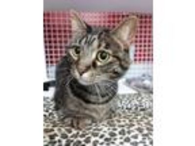 Adopt Basket a Brown Tabby Domestic Shorthair / Mixed (short coat) cat in