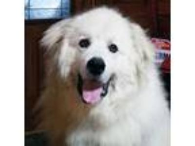 Adopt Roman G a Great Pyrenees
