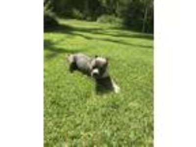 Adopt Gator a Black - with White Mastiff / American Pit Bull Terrier dog in