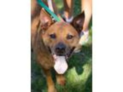Adopt Mel a Cattle Dog
