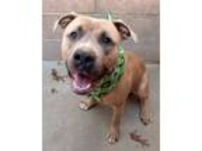 Adopt Zeus a Tan/Yellow/Fawn American Pit Bull Terrier / Mixed dog in Waldorf