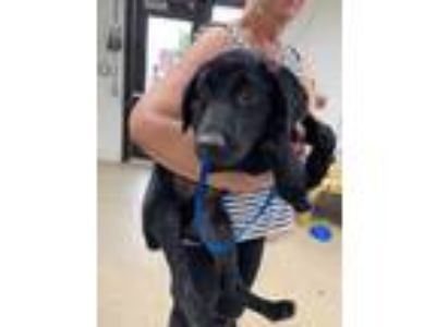 Adopt Dugas Boots a Black Labrador Retriever / Mixed dog in Fort Worth