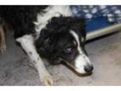 Adopt Zachary a Black Australian Shepherd / Mixed dog in Albany, OR (25545343)