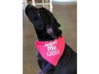 Adopt *Foster Homes Needed for Puppies/Dogs* a Labrador Retriever