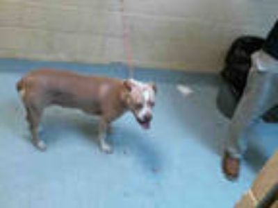 Adopt KIWI a Tan/Yellow/Fawn - with White American Pit Bull Terrier / Mixed dog