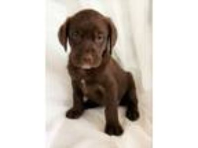 Adopt Abby a Brown/Chocolate - with White Labrador Retriever / Mixed dog in