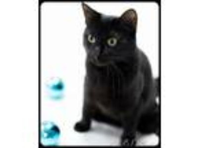 Adopt Princess Zelda a All Black Domestic Shorthair / Mixed (short coat) cat in