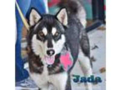 Adopt Jada a Black - with White Siberian Husky / Mixed dog in Carrollton