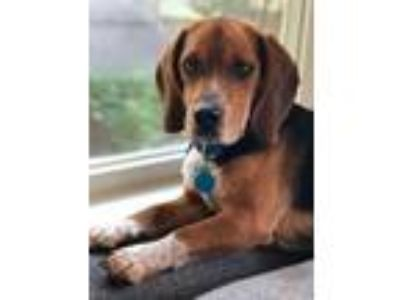 Adopt Dewey (Has Application) a Beagle