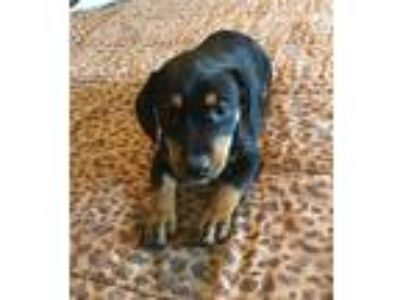 Adopt Queen a Black - with Tan, Yellow or Fawn Rottweiler / Mixed dog in Palm