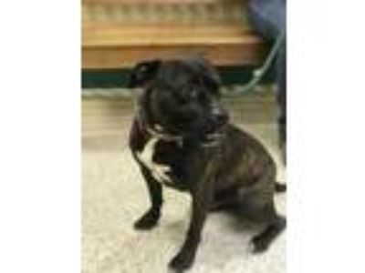 Adopt Buddha a Brindle American Pit Bull Terrier / Mixed dog in Philadelphia