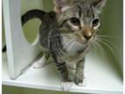 Adopt Lizard a Domestic Short Hair