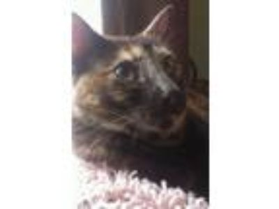 Adopt Molly a Tortoiseshell American Shorthair / Mixed cat in Cary