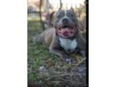 Adopt Baby girl a Gray/Silver/Salt & Pepper - with White American Pit Bull