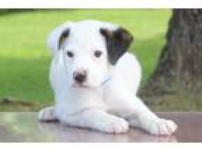 Adopt Baker a White - with Black Pointer / Labrador Retriever / Mixed dog in