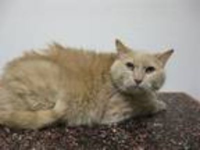 Adopt Poundcake a Domestic Short Hair