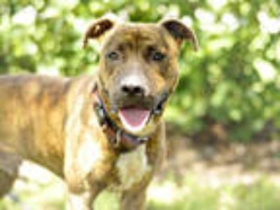 Adopt APOLLO a Brindle - with White Boxer / Mixed dog in Tavares, FL (22290281)