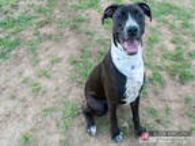 Adopt LEG0 a Black - with White Great Dane / Mixed dog in York, SC (25604888)