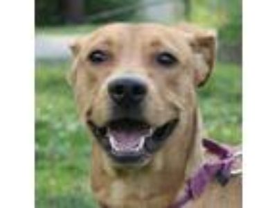 Adopt Baby a Tan/Yellow/Fawn American Pit Bull Terrier / Retriever (Unknown