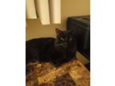 Adopt Pug/pudgety/pudgy a All Black Domestic Longhair / Mixed cat in Green Bay