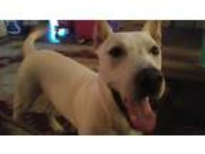 Adopt Kai a White - with Tan, Yellow or Fawn Labrador Retriever / American Pit