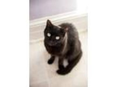Adopt Gidget a All Black Domestic Shorthair cat in East Norriton, PA (23209985)