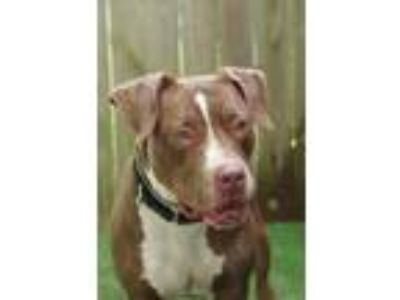Adopt 41965603 - Available 6/20 a Terrier, Pit Bull Terrier