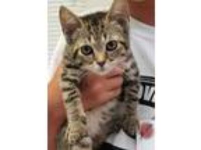 Adopt Pancakes a Brown or Chocolate Domestic Shorthair / Domestic Shorthair /