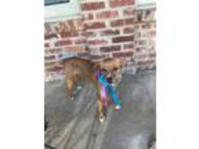 Adopt Sydney a Tan/Yellow/Fawn - with White Miniature Pinscher / Mixed dog in