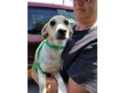 Adopt Simon a White - with Tan, Yellow or Fawn Basset Hound / Mixed dog in