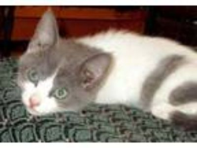 Adopt Avila a Gray or Blue Domestic Shorthair / Domestic Shorthair / Mixed cat