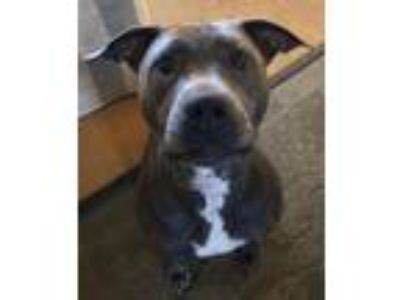Adopt Evelyn- Courtesy Listing a Pit Bull Terrier